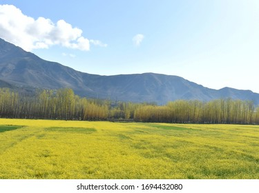 SRINAGAR, JAMMU & KASHMIR, INDIA - 2020/03/04: The establishing look of a nature were full bloom mustard fields can be seen in the outskirts of srinagar on Friday