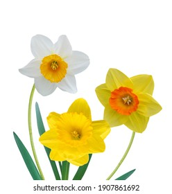 Srping daffodil flowers border isolated white