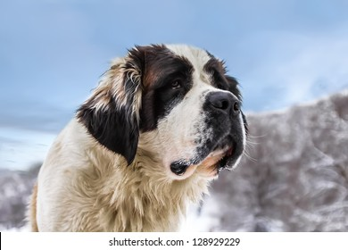 The St. Bernard big Dog is a loyal friend and a great help in the snow.