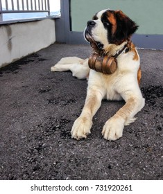 St. Bernard dog with the iconic barrel. St. Bernard is a breed of very large working dog from the western Alps in France, Switzerland and Italy, originally were bred at St Bernard Pass for rescue.