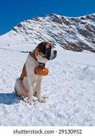 St. Bernard Dog on the snow with keg