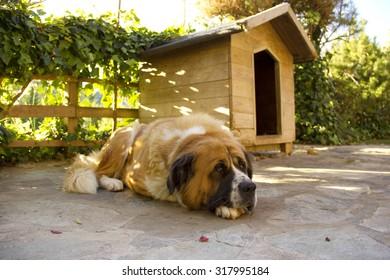 St. Bernard dog resting peacefully in the garden