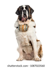 St Bernard Dog sitting in front of the camera, isolated