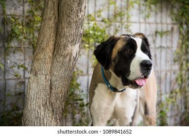 St. Bernard Dog Standing By A Tree