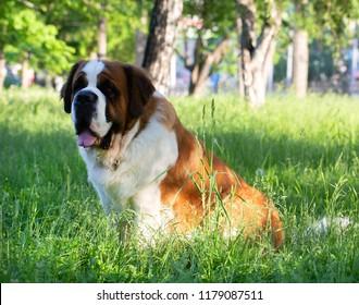 St. Bernard dog in the summer outdoors for a walk