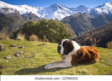 St. Bernard on the mountain