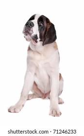 St. Bernard pup