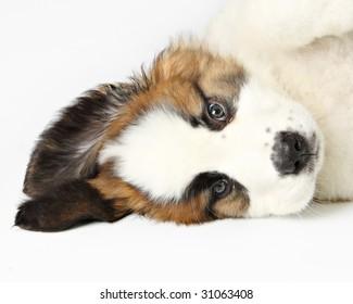 St. Bernard Puppy,