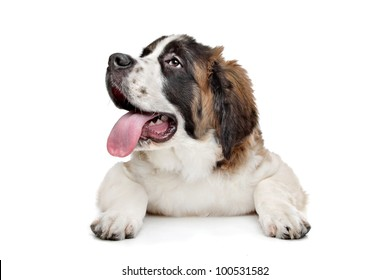 St Bernard puppy in front of a white background
