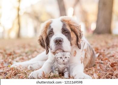 St. Bernard puppy hugging a kitten on autumn leaves