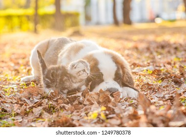 St. Bernard puppy and kitten are together on the autumn foliage at sunset