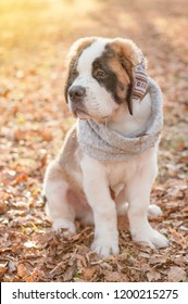 St. Bernard puppy in a scarf and warm headphones in the autumn park