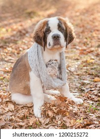 St. Bernard puppy warms kittens in a knitted scarf, walking through the autumn park