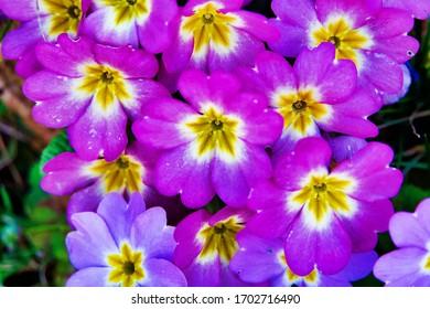 St. Gallen, Switzerland, 2020.03.20., Spring is arriving an the flowers start to bloom