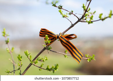 St. George's Ribbons on tree branches, May 9,  russian holiday victory day