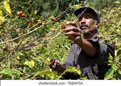 St Helena coffee farmer picking ripe cherry beans