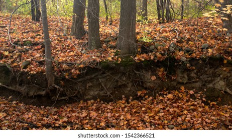 St Jacobs, Ontario, Canada. October 25th 2019. Exposed tree roots on a riverbank in autumn
