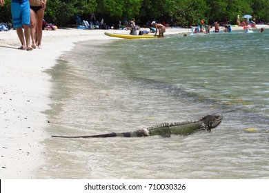 St. John, US Virgin Islands – July 17, 2017: An iguana takes a refreshing dip in the Caribbean Sea at Maho Bay, St. John, USVI, Virgin Islands.