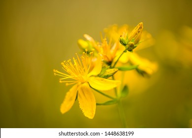 St. John wort, medicinal plant with flower