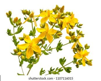 St. John's wort blossoms