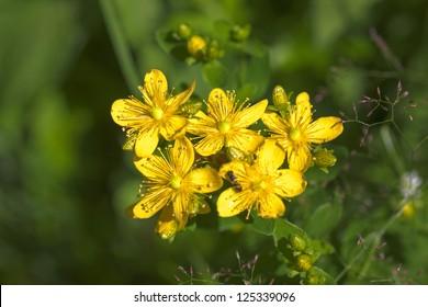St. John's wort flowers in summer close up