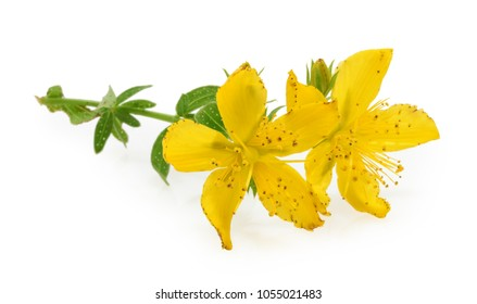 St. John's wort (Hypericum perforatum) isolated on white background