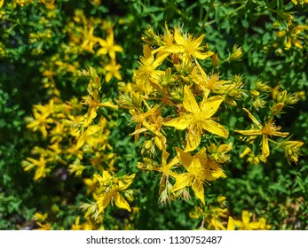 St John's wort, Hypericum perforatum, growing in Galicia, Spain