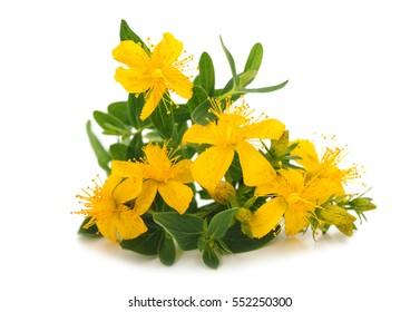 St. John's wort (Hypericum perforatum) flowers