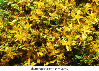 St. John's Wort, known also as Tipton's Weed, flowers background. Medicinal use for depression treatment