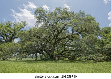 St. Landry Parish Oak