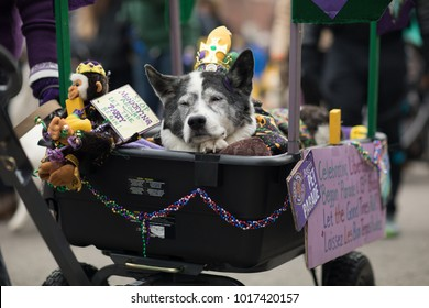 St. Louis, Missouri, USA - February 04, 2018, The Begging Pet Parade is part the Soulard neighborhood Mardi gras celebrations in St. Louis, and it consist of dogs in costume and their owners.
