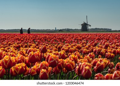 St Maartensvlotbrug, Schagen, North Holland, Netherlands - May 1, 2018 : Tulip farmers checking their flowers