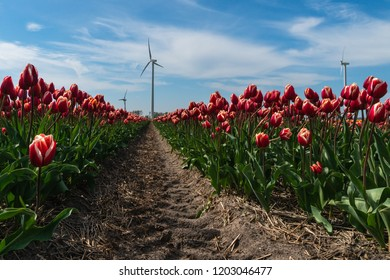 St Maartensvlotbrug, Schagen, North Holland, Netherlands - May 1, 2018 : Tractor path through the tulip field