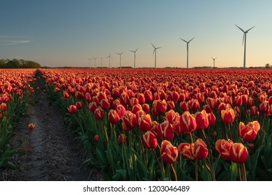 St Maartensvlotbrug, Schagen, North Holland, Netherlands - May 1, 2018 : Sunset between the tulips and the wind turbines