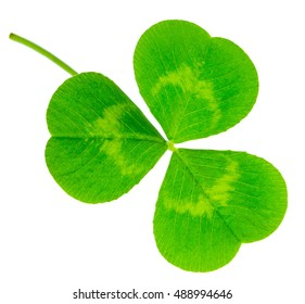 St. Patrick's Day shamrock clover green leaf isolated on white background in 1:1 macro lens shot