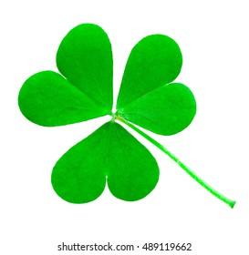 St. Patrick's Day symbol. Shamrock clover green heart-shaped leaves isolated on white background in 1:1 macro lens shot