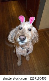 ST PAUL, MINNESOTA / USA - MARCH 27, 2016: Reluctant portrait of dutiful Goldendoodle pet Gunnar wearing his Easter bunny ears.