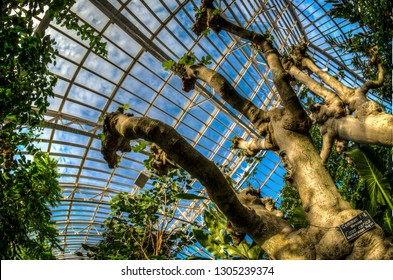 St. Paul, MN - March 2, 2018: Inside the Majorie McNeely Conservatory, at the Como Park gardens, a common fig tree grows inside. Fisheye view