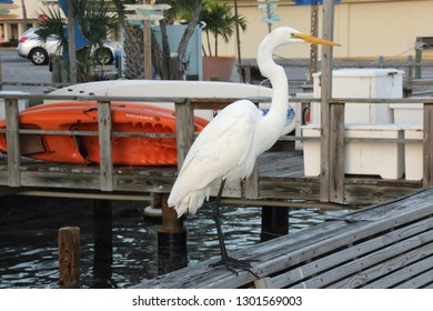 St. Pete Beach, FL - January 23, 2019: A photo of an egret standing tall on a wooden dock railing in St. Pete Beach. Colorful kayaks on the dock and reflections on the water add detail to the image.