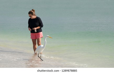 St. Pete Beach, Florida, January 15, 2018: Beautiful photo of a woman walking in shallow surf searching for seashells while a Great Egret (Ardea alba) searches for small fish to eat on St. Pete Beach.