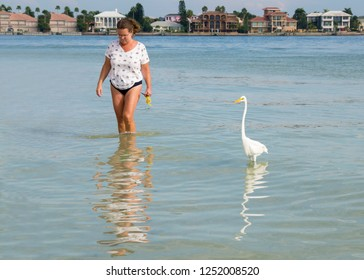 St. Pete Beach, Florida, November 20, 2018: Nice photo of a woman walking in shallow surf on the Gulf of Mexico along side of a Great Egret (Ardea alba) searching for shells and food.