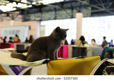 "ST. PETERSBURG - MAY, 1: Gray British kitten at the International cat exhibition ""KOTOVASIYA"" on May 1, 2010 in St.-Petersburg, Russia"