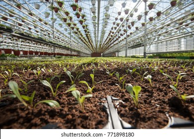 St. Petersburg, Russia - April 20, 2017: Typical greenhouse for year-round growing flower seedlings for flower beds. Agrotechnics of growing petunias. Rows of pots with fertilized soil