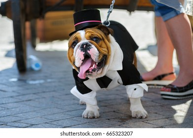 ST PETERSBURG, RUSSIA - June 17, 2017: Bulldog takes part in performance during summer English bulldog parade on a city street