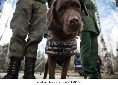 St. Petersburg, Russia - May 12, 2017: Sappers prepare service dogs for demonstration  on demining in the city park.