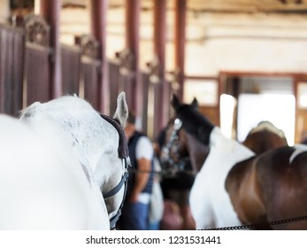 In the stable. Horsemen, the owner to curb the stallion in stable. Horse barn, animal sport, equestrian, ranch racing