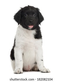 Stabyhoun puppy sitting, panting, looking at the camera, isolated on white