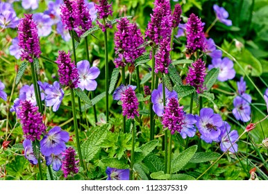 Stachys monnieri Hummelo perennial herbaceous flowering plant and Geranium robertianum, commonly known as Herb-Robert