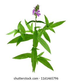 Stachys Officinalis. Also Hedgenettle, Heal-All, Self-Heal, Woundwort, Wood Betony, Lamb's Ears, Crosne, Chinese or Japanese Artichoke, Knotroot. Isolated on White Background.