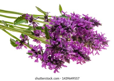 Stachys officinalis isolated white background